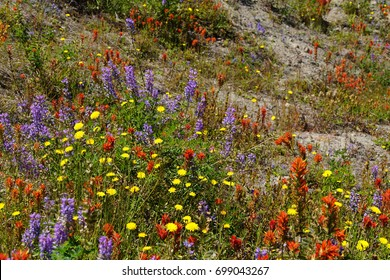 Orange, purple, and yellow wildflowers  the meadows of Johnston Ridge, Mt St Helens Volcanic National Monument, Washington