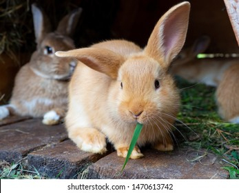 Orange rabbit in the hutch, eating green grass.