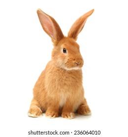 orange rabbit on white background
