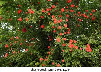 Orange rambling roses blooming on a big tree