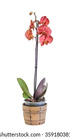 Orange, red branch orchid  flowers, Orchidaceae, Phalaenopsis known as the Moth Orchid, abbreviated Phal. Brown vase. White background.