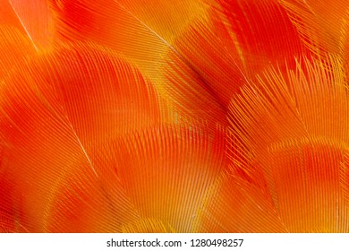 Orange and red breast feathers of the Camelot Macaw
