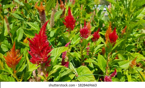 Orange and red Celosia flowers. Red and orange Celosia flowers. Colorful Celosia plumosa. Plumed Celosia. Colorful floral background. Colorful flowers backdrop. Plumed flowers. Plumed Cockscomb.