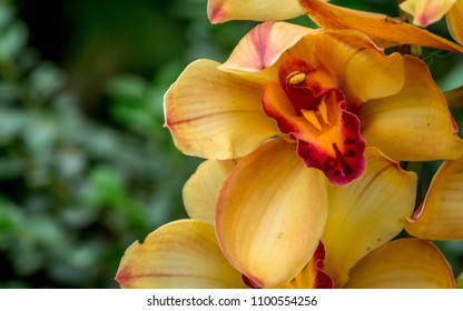 Orange and red Cymbidium orchid hybrid with selective focus, Boat orchid flower at a Greenhouse in eastern Himalayas