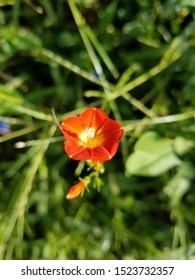 Orange red flower closeup. Green background. In nature.