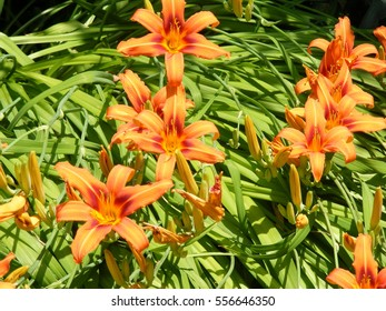 Orange and red flowering lily within garden border