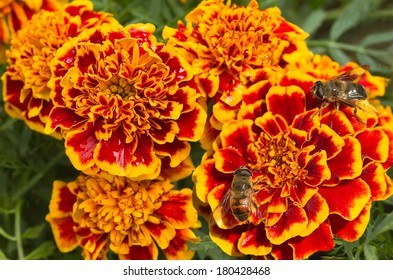 Orange and red French marigold or Tagetes patula with hoverflies in summer