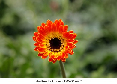 Orange Red Gerbera Daisy in the Wild Gardens