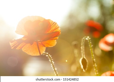 Orange and red poppy on blurred, soft background