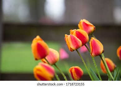 Orange and red spring tulips with water droplets after rain