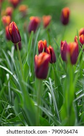 Orange and red tulips in a park background. Selective focus
