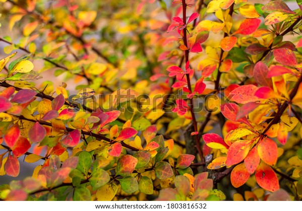 orange-red-yellow-green-berberis-600w-18