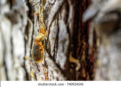 orange resin on the bark of a tree, coniferous tree