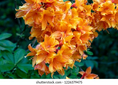 Orange Rhododendrons with dark green leaves in the background