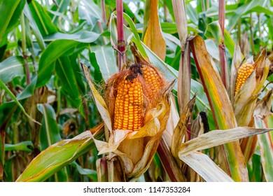 Orange ripe corn cobs on a corn plant in corn field