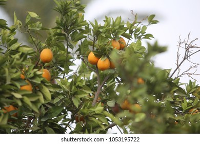 Orange ripe fruits in Jericho, Palestine.