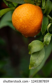Orange ripening on tree with raindrops in Moroccan garden