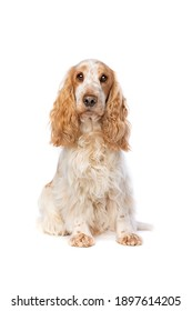 orange roan english cocker spaniel in front of a white background