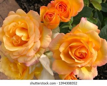 Orange rose blooms in a garden