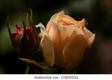 An Orange Rose and bud with morning dew on a dark natural backdrop.