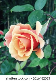 orange rose bush