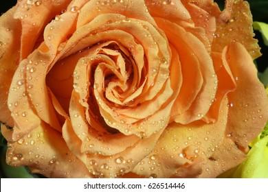 orange rose close up, water-drops