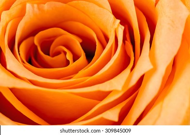 Orange rose flower.