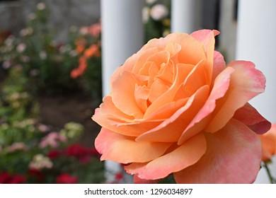orange rose flower in roses garden. Soft focus. Lolita is a hybrid tea rose. Germany