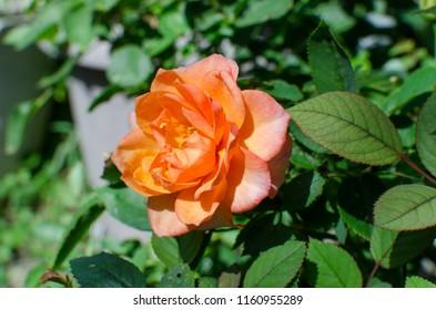 orange rose in the garden