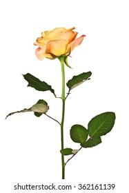 Orange rose isolated on a white background