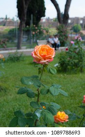 Orange rose at the municipal Rose Garden in Rome