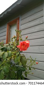 Orange rose of a nostalgic shape against the background of a wooden house and window