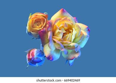 Orange rose on a blue background. Isolated. Bud close up.