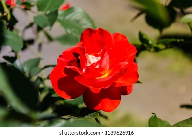 Orange rose on green background, symbol of love