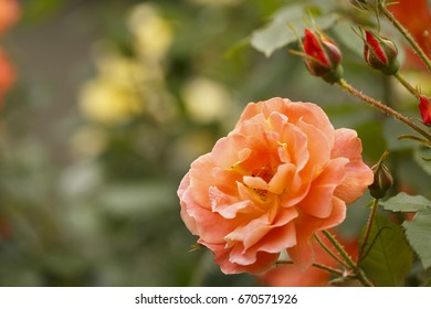 Orange rose in spring, Colorful photo of orange roses with green background, Selective focus with very shallow depth of field