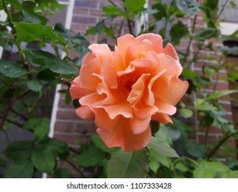 orange rose street flower Amsterdam