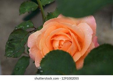 orange rose with water drops on petals. Lolita is a hybrid tea rose. Germany