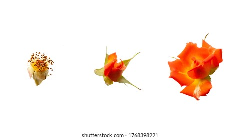 Orange roses isolated on white background. Three stages of flowers life cycle from flowering to wilting