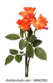 Orange roses  isolated on white background cutout