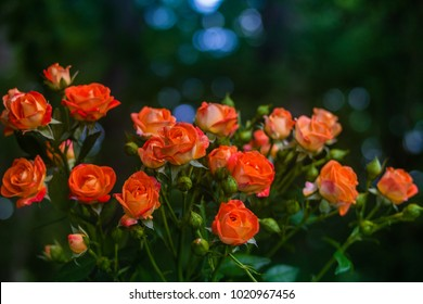 Orange roses on fresh green leaf background and bokeh blure with shallow depth of field. Soft focus.
