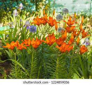 Orange saffron lilies(Lilium dahuricum; Lilium pensylvanicum) , blue Allium caesium and blue bearded Iris in  garden. Harmoniously contrasting combination of orange-blue color.