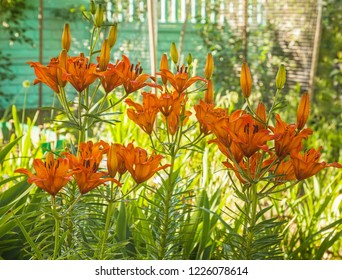 Orange saffron lilies(Lilium dahuricum; Lilium pensylvanicum) in the drops of dew in a morning garden
