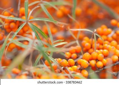 Orange sea buckthorn berries on shrub in autumn; Rich in vitamin C