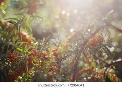 orange sea buckthorn berry grows on a tree