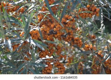 orange sea buckthron on Rügen