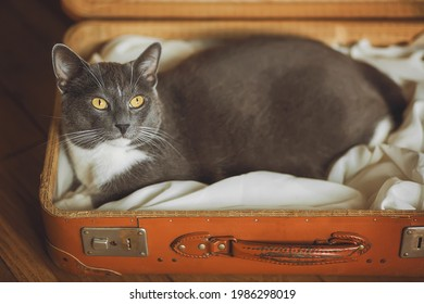 In an orange shabby vintage suitcase, a gray domestic cute cat with yellow eyes lies comfortably. Trip with an animal. Journey.