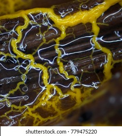 An orange shiny branched plasmodium of a slime mold, or myxomycete, is crawling and spreading on a substrate. Slime moulds are special organisms that gather from many microscopic unicellular amoebae