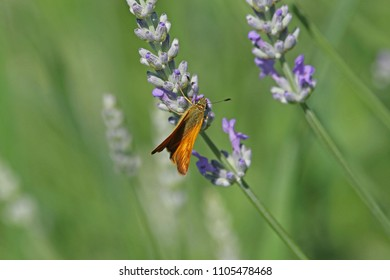 Orange skipper butterfly possibly small, Essex or lulworth skipper Latin name thymelicus sylvestris, lineola or acteon from the hesperiidae family feeding a flowering lavender lavandula in Italy