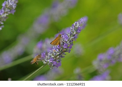 Orange skipper butterfly possibly small, Essex or lulworth skipper Latin name thymelicus sylvestris, lineola or acteon from the hesperiidae family feeding on lavender flowers in Italy