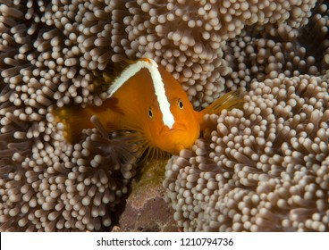 Orange skunk clownfish ( Amphiprion sandaracinos ) swimming among sea anemone  tentacles of Bali, Indonesia